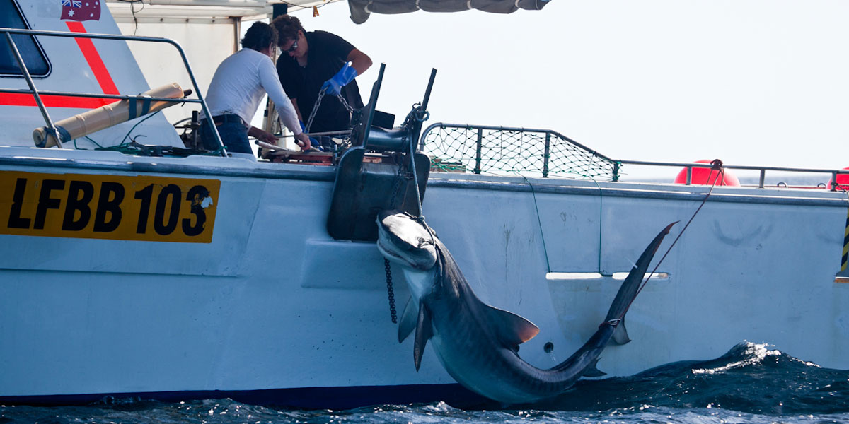 A tiger shark being caught in the Margaret River region, Western Australia, last week. Photo: AAP/Sea Shepherd