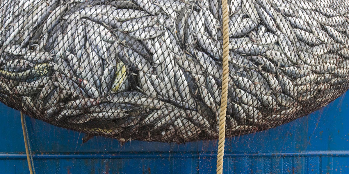 A net bulging with tuna and by catch near the northern Galapagos Islands. Photo: AAP/Greenpeace