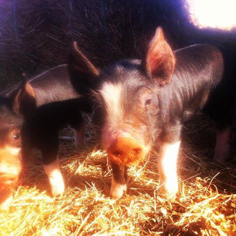 Savannah Farm Piglets