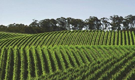 Adelaide-Hills-Vineyards-resized