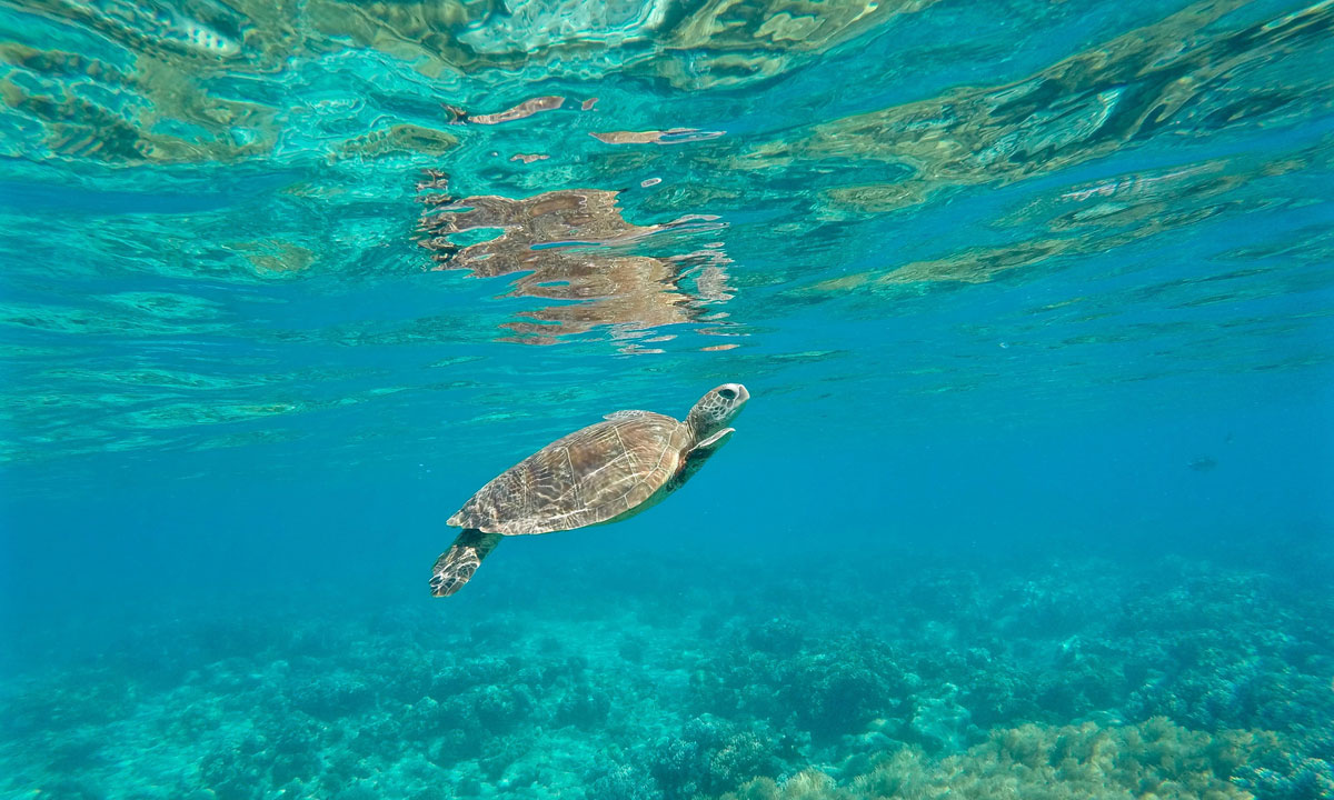 A turtle in the water off Green Island. Photo: Buongiorno World / flickr