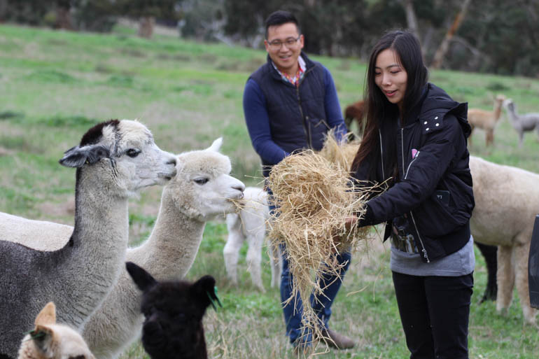 Softfoot Alpacas is popular with overseas visitors wanting to experience authentic farm life and premium alpaca wool and products.