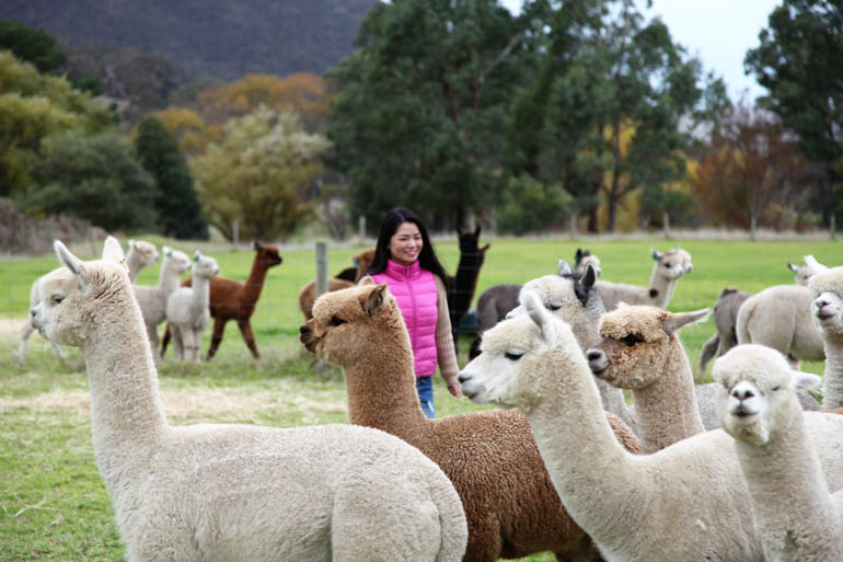 Softfoot Alpacas tourism manager Sophie Xie.